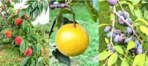 桃、梨、プルーン